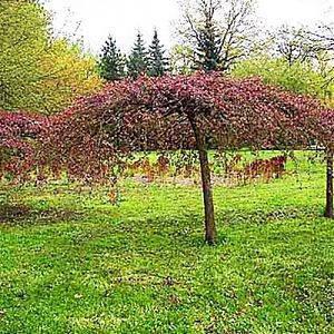 Яблоня плакучая  Ред Джет