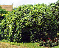 Ясень обыкновенный Пендула