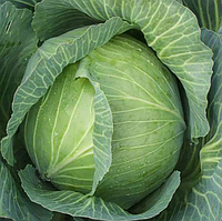 АМТРАК F1 - насіння капусти білоголової 2 500 насіння, Bejo Zaden