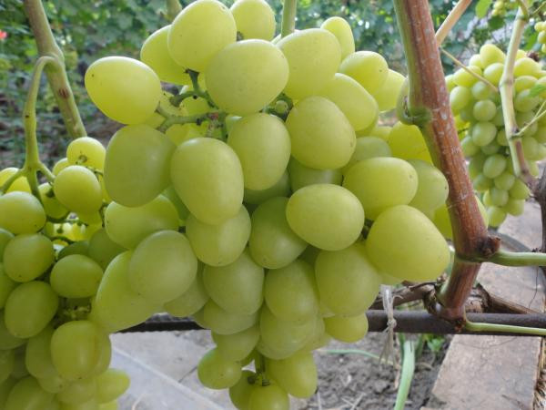 Виноград  Супер -Экстра