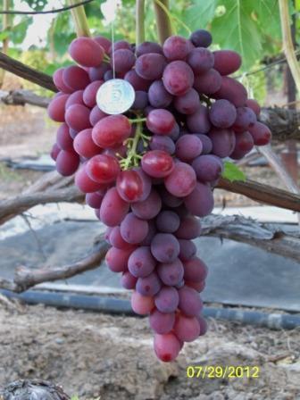 Виноград Алая Заря