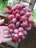 Виноград Парижанка