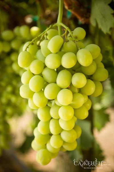 Виноград кишмиш Принцеса