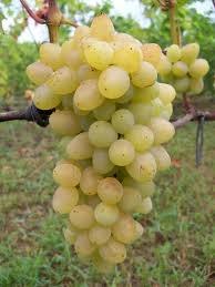 Виноград Плевен мускатный