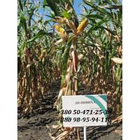 Семена кукурузы ДН Пивиха