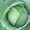 САРАТОГА F1 - семена капусты белокочанной, 2 500 семян, Bejo Zaden
