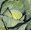 ДЖУБИЛИ F1 - семена капусты белокочанной, 2 500 семян, Bejo Zaden