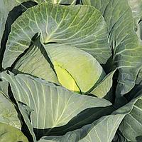 ДЖУБИЛИ F1 - семена капусты белокочанной, 2 500 семян, Bejo Zaden, фото 1