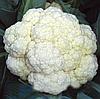 ФАРГО F1 - семена капусты цветной, 2 500 семян, Bejo Zaden