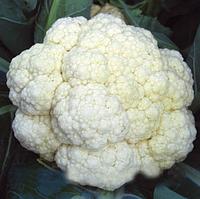 ФАРГО F1 - семена капусты цветной, 2 500 семян, Bejo Zaden, фото 1