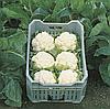 ГУДМЕН - семена капусты цветной, 2 500 семян, Bejo Zaden