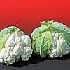 АЛЬТАМИРА F1 - семена капусты цветной, 2 500 семян, Bejo Zaden