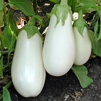 БИБО F1 - семена баклажана, 1000 семян, Semenis