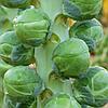 ДИАБЛО F1 - семена капусты брюссельской, 2 500 семян, Bejo Zaden