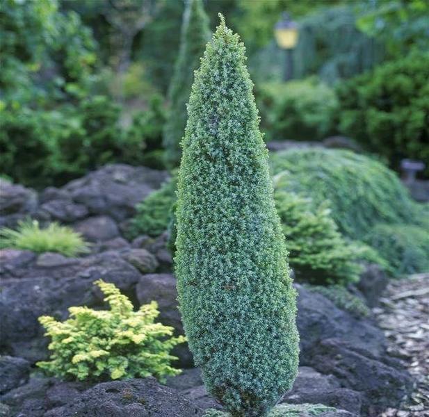 Можжевельник обыкновенный Компресса \ Juniperus Communis Compressa (30-35см, контейнер Р9)