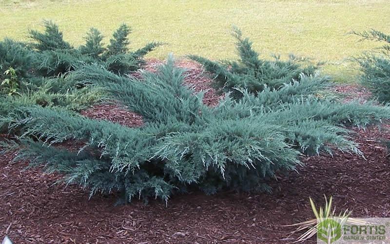 Ялівець віргінський Грей Оул \ Juniperus virginiana Grey Owl(контейнер Р9)