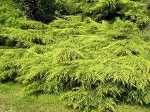 Можжевельник средний Мордиган Голд \ Juniperus media Mordigan Gold 9(контейнер Р10)