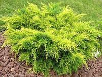 Можжевельник средний Олд Голд \ Juniperus media Old Gold (контейнер Р9)