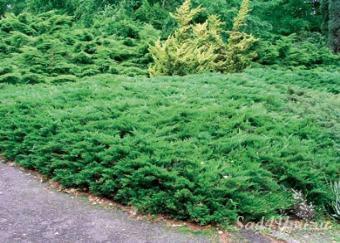 Можжевельник горизонтальный Рокери Джем \ Juniperus sabina Rockery Gem (с2)