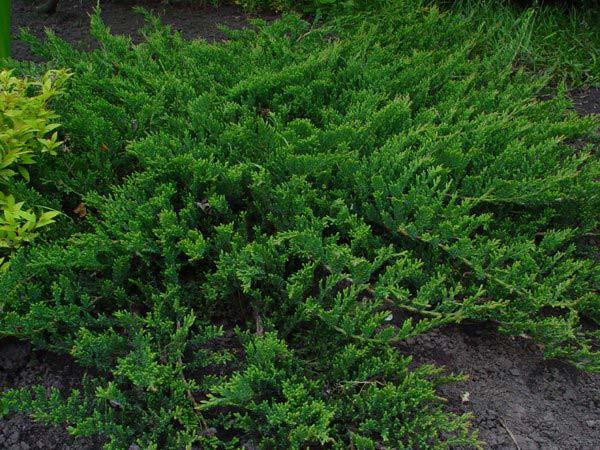 Можжевельник горизонтальный Принц Уэльский \ Juniperus horizontalis Prince of Wales. 9  (контейнер Р9)