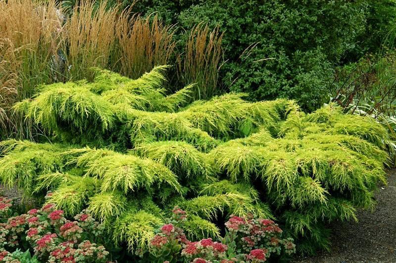 Можжевельник средний Пфитцериана Ауреа \ Juniperus Pfitzeriana Aurea (Контейнер )