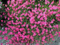 Гвоздика почвопокровная травянка (контейнер)