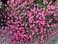 Гвоздика почвопокровная травянка (контейнер), фото 3