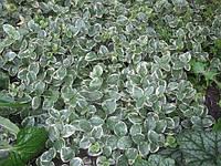 Барвинок пестролистный вечнозеленый