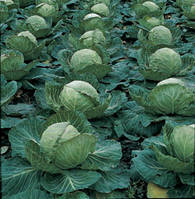 Семена капусты белокочанной Парел F1,2500 семян, Bejo