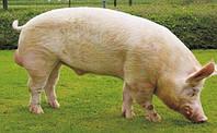 Уколы крупным домашним животным