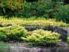 Можжевельник горизонтальный Лайм Глоу (Juniperus horizontalis Lime Glow) -