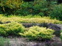 Можжевельник горизонтальный Лайм Глоу (Juniperus horizontalis Lime Glow) -, фото 1