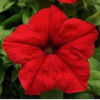 Petunia Supercscade Red