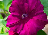 Petunia Supercascade Burgundy