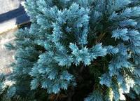 МОЖЖЕВЕЛЬНИК ЧЕШУЙЧАТЫЙ 'БЛЮ СТАР'  Juniperus squamata 'Blue Star'