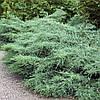 Можжевельник виргинский 'Grey Owl'. Juniperus virginiana 'Grey Owl