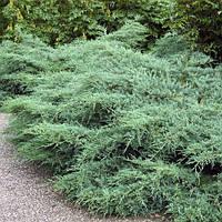 Можжевельник виргинский 'Grey Owl'. Juniperus virginiana 'Grey Owl, фото 1
