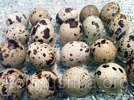 Яйце перепелине