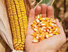 Семена кукурузы Сингента НК Кобальт Syngenta ФАО 320