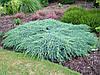 Можжевельник чешуйчатый Блю Карпет (Juniperus squamata Blue Carpet)