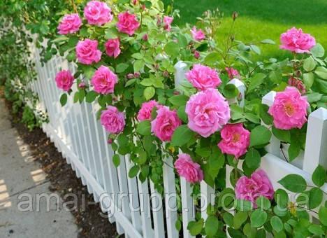Как правильно поливать розы