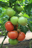 Семена Томат индетерминантный Ралли F1, 10 семян Enza Zaden