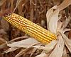 Кукуруза Белозерский 295