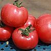 Семена Томат индетерминантный розовый Грифон F1 поштучно 10 семян Nunhems