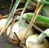 БАЛСТАР F1 - насіння цибулі ріпчастої цибулі, 250 000 , Semenis, фото 1