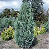 Можжевельник скальный Скайрокет (Juniperus scopulorum Skyrocket)