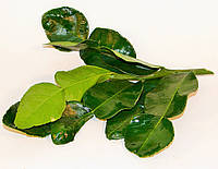 Листья Каффир лайма свежие и замороженные