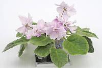 Luisiana Lullaby сорт сенполии, фото 1