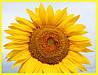 Семена подсолнечника Лимагрейн ЛГ 5543 КЛ, Limagrain LG 5543 CL, Евро-Лайтнинг