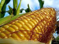 Перенацеливание на отечественный материала посевной кукурузы